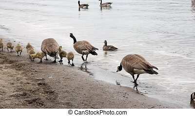 Canada Geese and Goslings Spring - Canada Geese and Baby...
