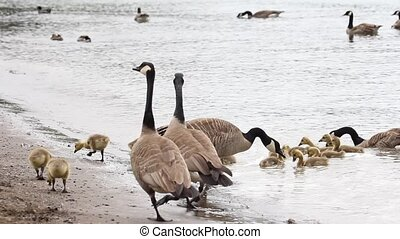 Canada Geese and Goslings on Beach - Families of Canada...
