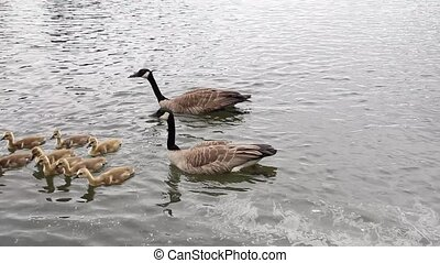 Canada Geese and Goslings Swimming - Family of Canada Geese...