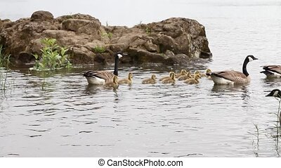 Canada Geese and Goslings Families - Families of Canada...