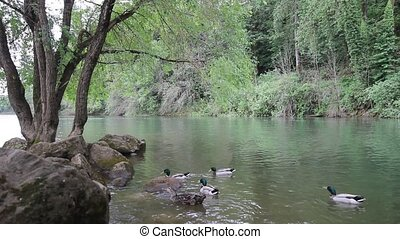Mallard Ducks in Willamette River - Mallard Ducks Swimming...
