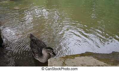 Female Mallard Duck Bathing 1080p