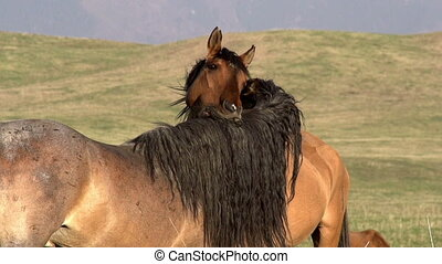 Horses Tenderness - Horses couple showing affection to each...