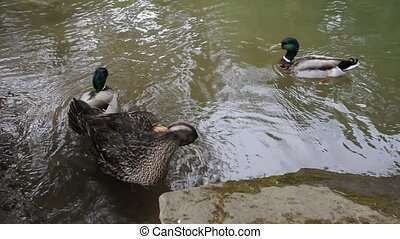 Mallard Ducks Swimming and Grooming in Water by the Banks of...