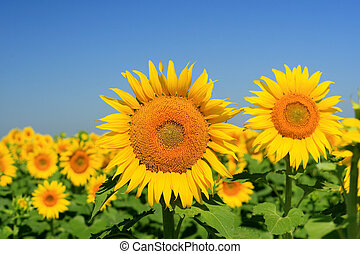 Field of Sunflowers - a close up of a field of sunflowers