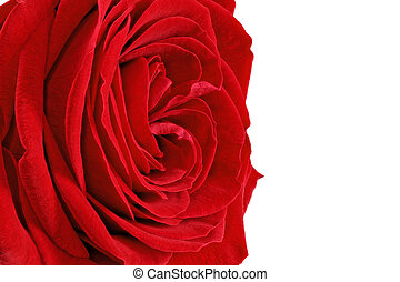 Beautiful single red rose flower. Isolated. - Beautiful...