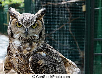 Fierce look from great horned owl - Bright gold and black...