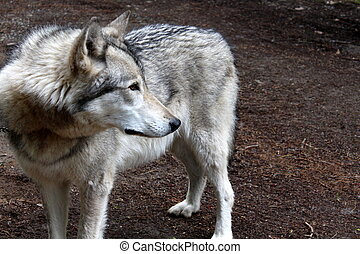 Timber wolf staring into distance - Timber wolf in woods,...