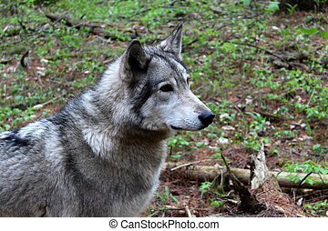 Beautiful timber wolf in woods - Wolves are gorgeous...