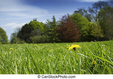 Summer scene - Focus on lone dandelion with treelined edge...