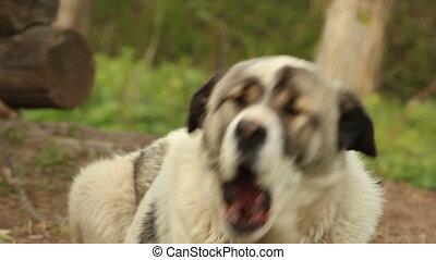 Watchdog rustic dog on a leash