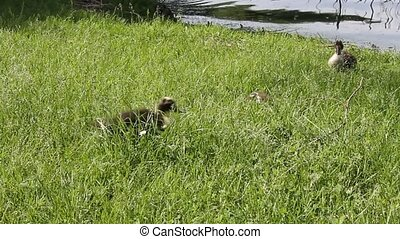 ducks on grass