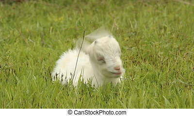 Small white goat grazing on a meado