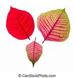 Red and Pink leaf isolated on white background - Red and...