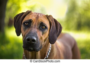 Rhodesian ridgeback dog - Detailed portrait of a Rhodesian...