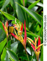 Sunbird on heliconia flowers - A sunbird on a species of...
