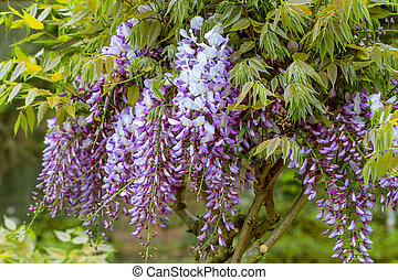 Beautiful blue wistaria