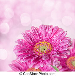 pink gerbera background with bokeh effect