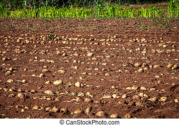 Potato - row of fresh raw potato on land