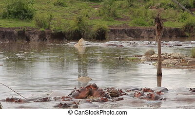 hyppos pool - hippos wallowing in the water relaxing and...
