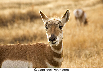 Pronghorn Antelope Grazing and Looking Eating Grass National...