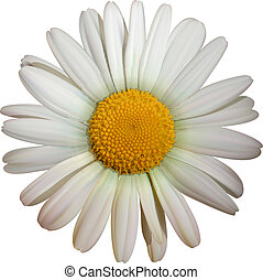 camomile flower - vector camomile flower isolated on white...