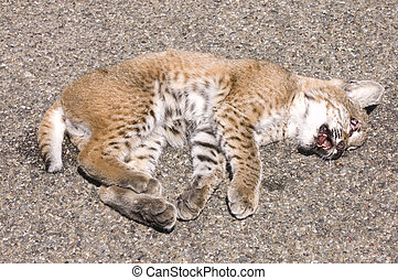 young bobcat roadkill - young bobcat kill by a vehicle as it...
