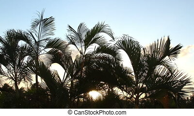 timelapse silhouette of palm trees gently blowing in the...