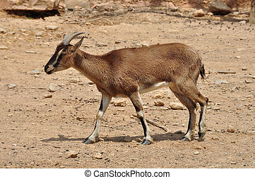 cretan wild goat - Cretan wild mountain goat with curved...