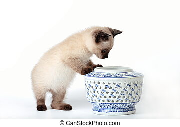 Siamese kitten snooping - Funny playful siamese kitten on...