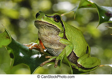 European tree frog Hyla arborea on a branch of holly