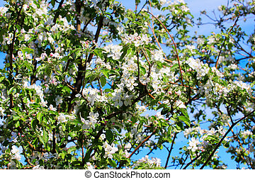 flowering tree cherry as symbol spring awakening nature