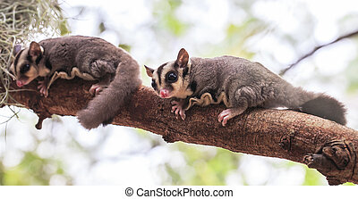 small possum or Sugar Glide on tree
