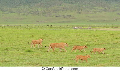 lion family - lions family walking throught ngorongoro...