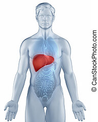 Liver position anatomy man isolated