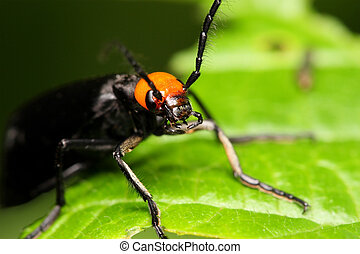 Coleoptera Beetle - Macro/close-up shot of a black orange...