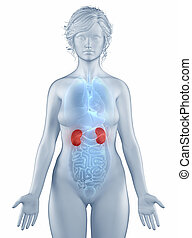 Kidney position anatomy woman isolated