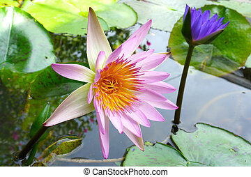 Waterlily, lotus blossom blooming on pond.
