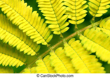 Yellow Bipinnate Leaf - Close up of yellow bipinnate left as...