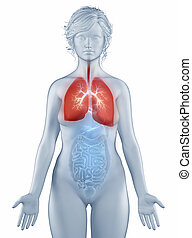 Respiratory system anatomy woman isolated