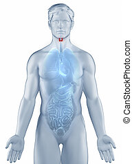 Thyroid position anatomy man isolated