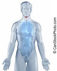 tiroides, posición, anatomía, hombre, aislado