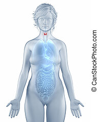Thyroid position anatomy woman isolated
