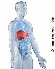 Hígado, posición, anatomía, hombre, aislado, lateral, vista