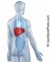 Liver position anatomy man isolated posterior view