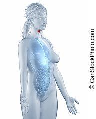 mujer,  lateral, aislado, anatomía, laringe, posición, vista