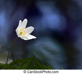 wood anemone on blue sky