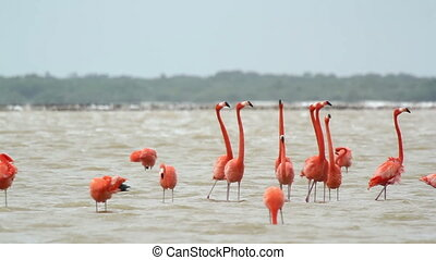 pink flamingos in the salt lagoons, ria largartos, mexico