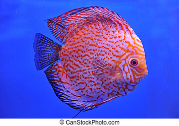 Red Stripe Pigeon Blood Discus