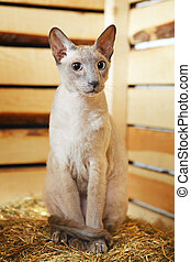 Peterbald on Hayloft - cute shorthair oriental cat,...